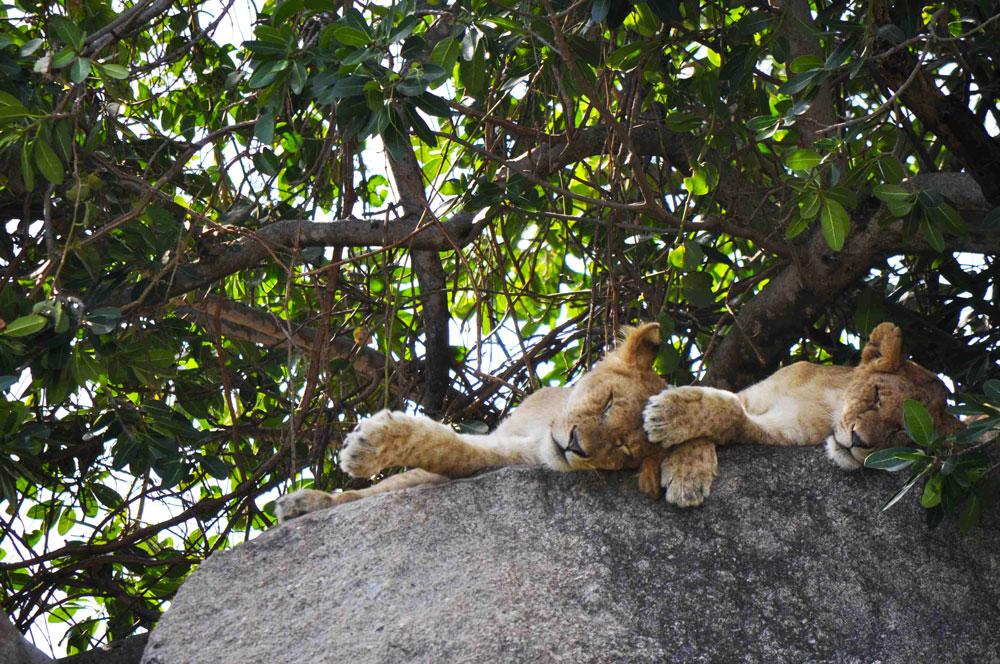 sleepy-lion-serengeti