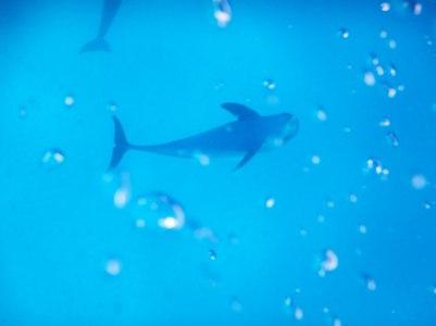 Mnemba Island, Dolphin