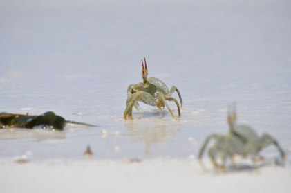 Mnemba Island, little crabs
