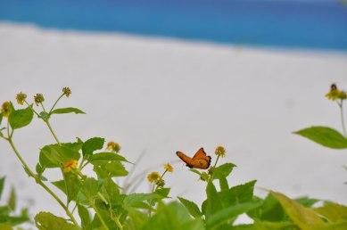 Mnemba Island Butterfly