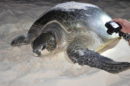 Mnemba Island, turtle