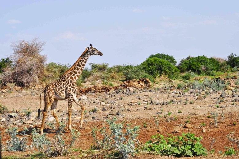 baby-giraffe-tanzania-lake-manyara
