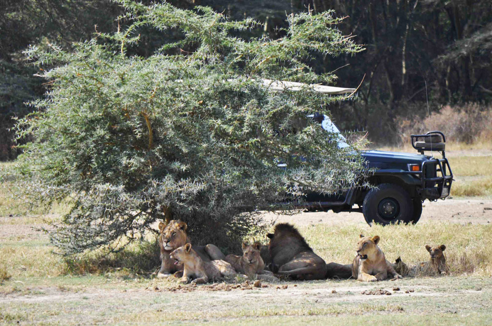 jeep-lions-safari-tanzania.jpg