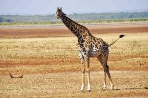lake-manyara-giraffe