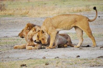 lions-lake-manyara