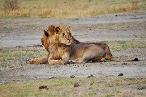 lions-manyara-safari-tanzania