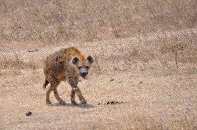 Ngorongoro Crater, hyena