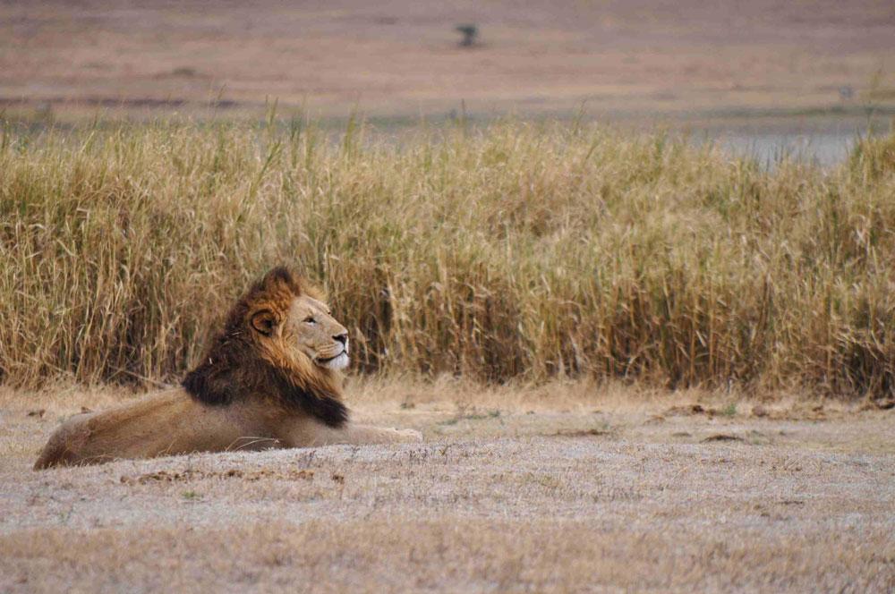 Ngorongoro Crater, lion