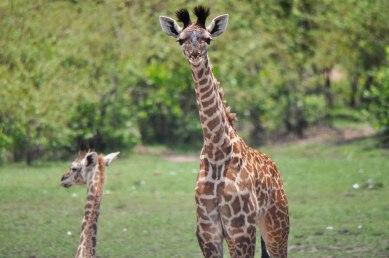 Ngorongoro Crater, Giraffe