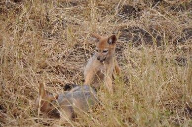 Ngorongoro Crater, Fox