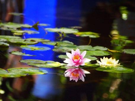 jardin-majorelle-ninfea