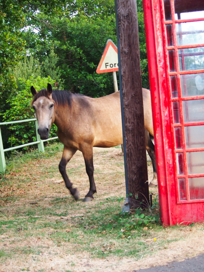 Horse, New Forest